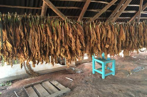 Vinales Tobacco Production