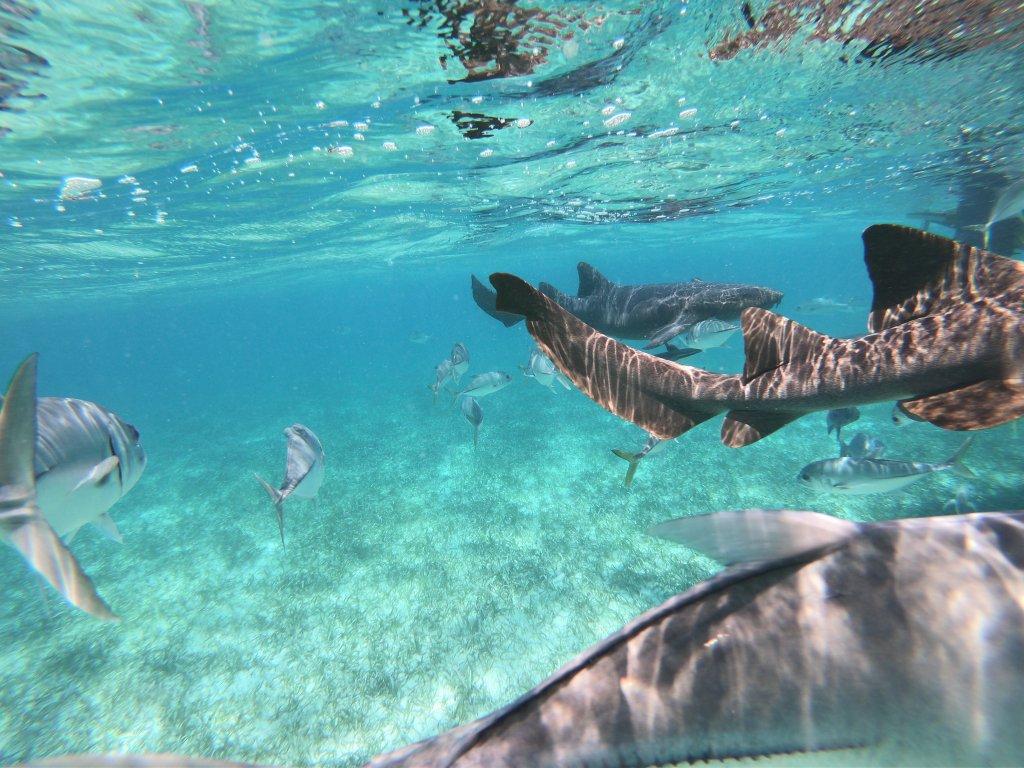 Belize Sharks
