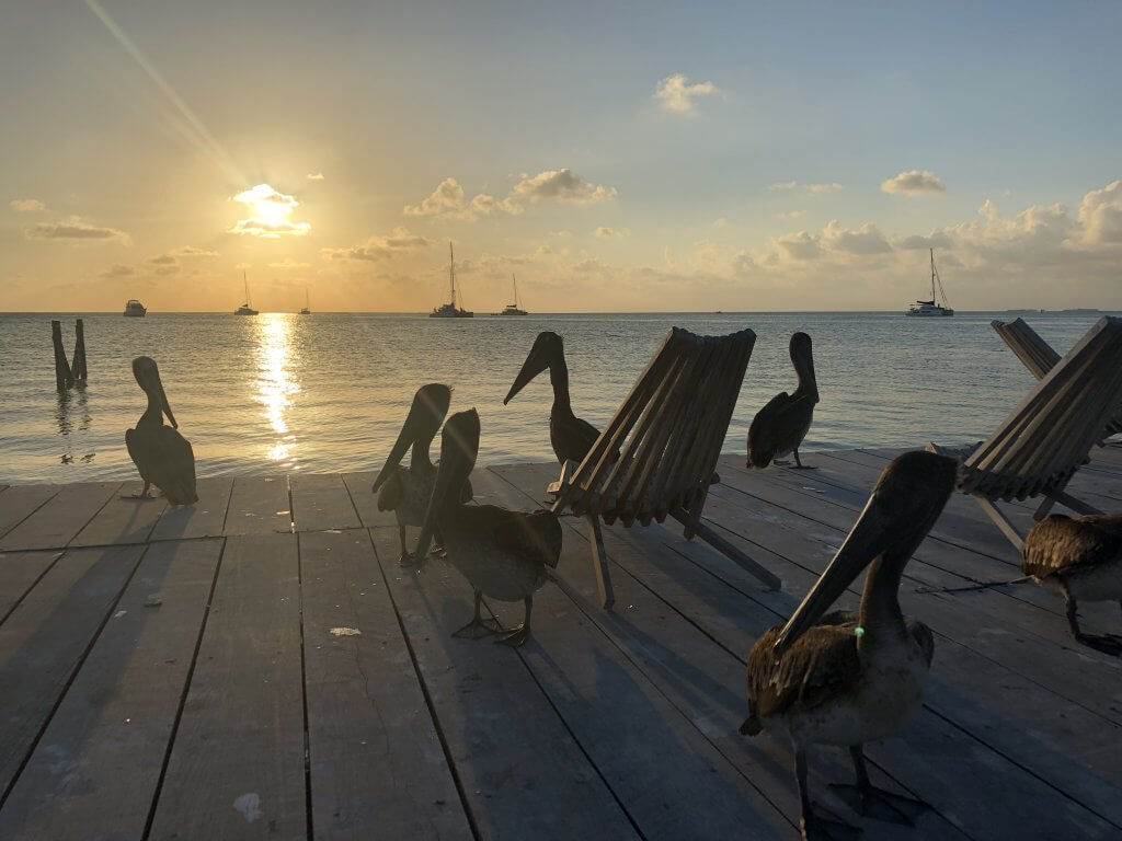 Pelicans Caye Caulker