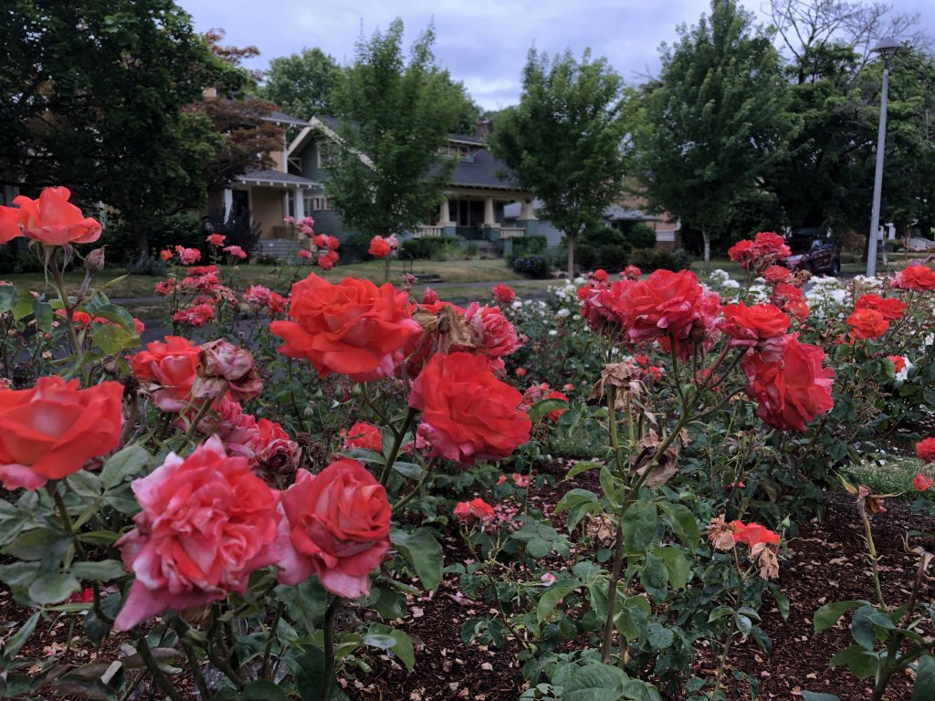 Roses in Ladd's Addition Portland